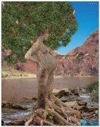 孕妇树,见过吗?
